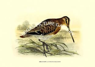 GREAT SNIPE ---- SCOLOPAX GALLINAGO